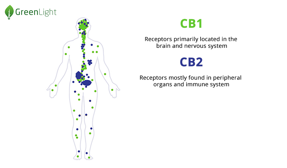 Cannabinoid Receptors in the human body